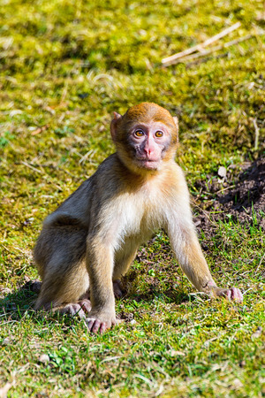 primates: The Little Berber monkey sitting alone on the meadow Stock Photo