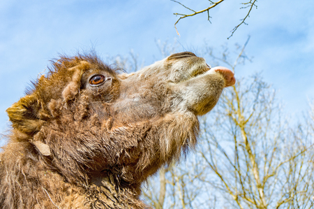 zoo dry: The Portrait of a camel stretching out his tongue