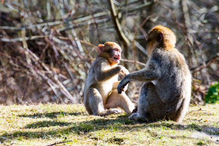 primates: Two Little Berber monkeys fight together in the zoo Stock Photo