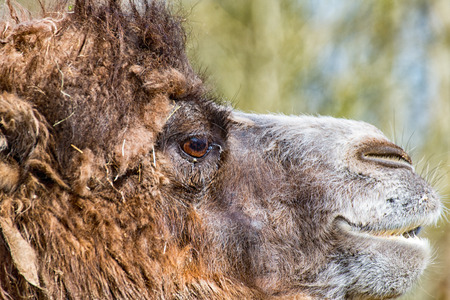 A Camel in profile with slightly open mouth