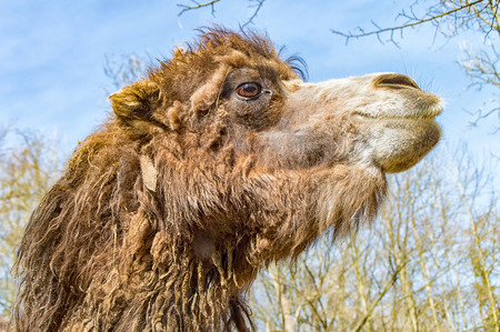zoo dry: A Portrait of a big camel in the zoo