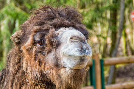cute: The Portrait of a camel in the zoo