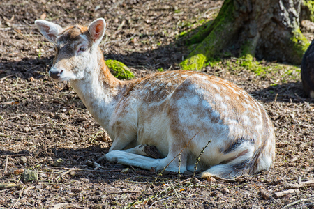 The Young fallow deer lying on the ground in the forest