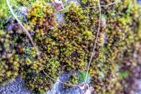 The Green moss grows on an old stone wall Stock Photo