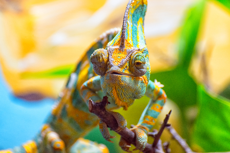 The colorful Chameleon runs slowly on a branch Stock Photo
