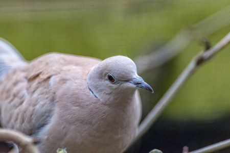 A Laughing Dove looks straight into the camera Stock Photo