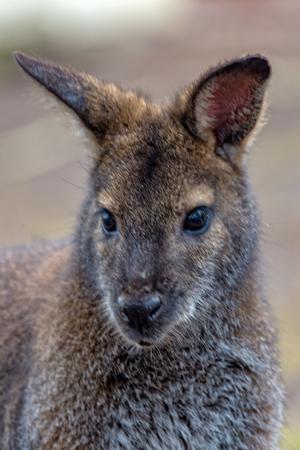 An Australian kangaroo curiously looks at its surroundings