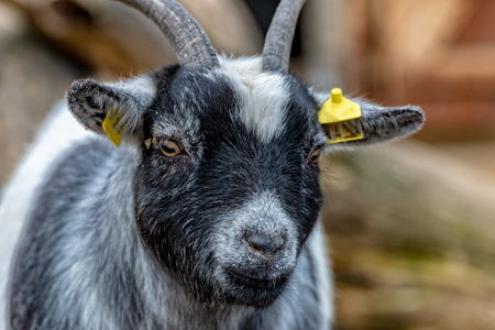 A Mini goat from Africa looks for delicious food Banco de Imagens