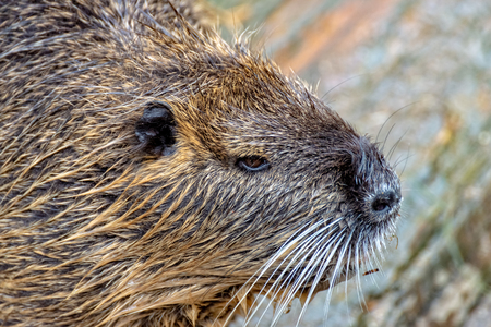 A Nutria comes out of the water
