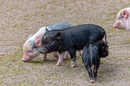 Some Little pigs play with each other
