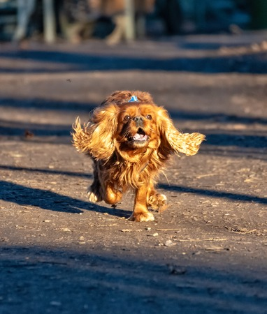 Cavalier King Charles Spaniel dog is having fun in the forest Stock Photo