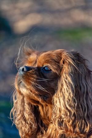 Cavalier King Charles Spaniel dog is having fun in the forest Reklamní fotografie