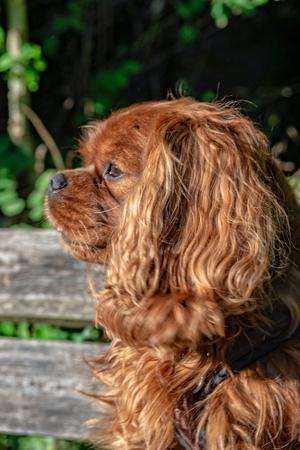 Cavalier King Charles Spaniel in Brown Ruby Reklamní fotografie
