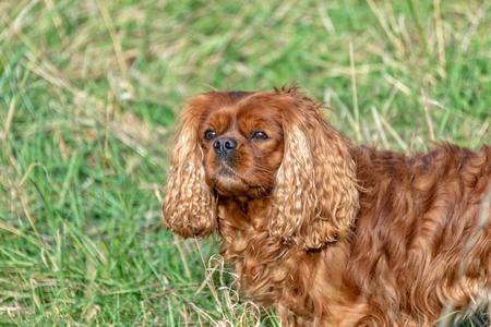 Cavalier King Charles Spaniel dog in brown ruby