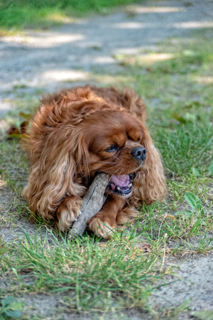 Cavalier King Charles Spaniel in Brown Ruby chews on a stick