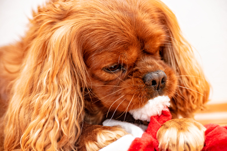 Cavalier King Charles Spaniel Dog Christmas Reklamní fotografie