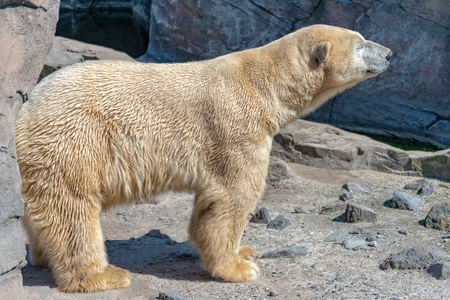 Polar bear male stands on the rock and enjoys the sun Banque d'images