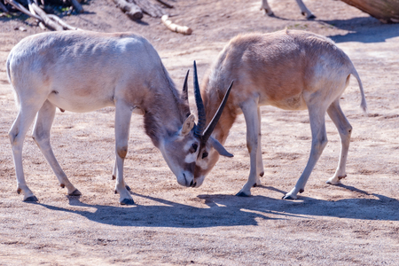 Two Addax animals are fighting each other Standard-Bild - 121020605