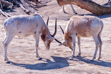 Two Addax animals are fighting each other