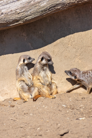 Meerkats enjoy the sun and are alert