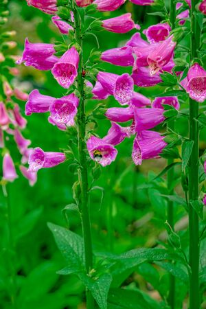 poisonous foxglove plant with bee looking for nectar Imagens