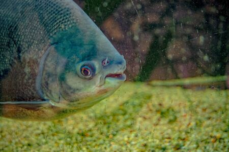 Piranha with sharp teeth floats in the pond