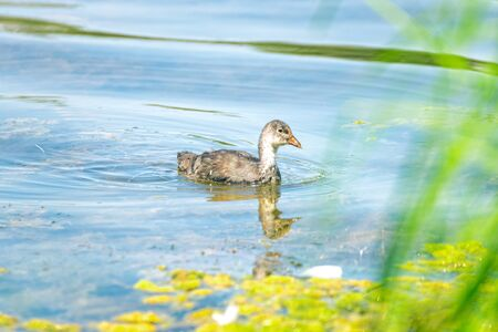 Little duck is swimming in the lake between the reeds