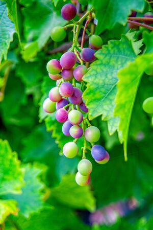 Grapes grow and ripen on the vine Stock fotó