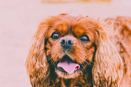 Cavalier King Charles Spaniel dog plays in the sand 版權商用圖片
