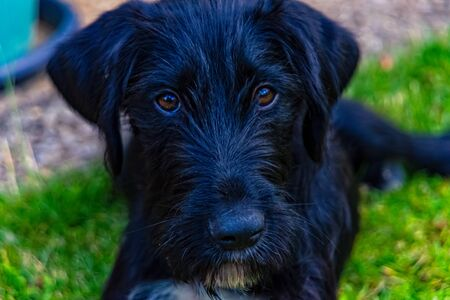 Young dog puppy with black fur is looking into the camera Stock Photo