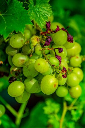 Bright grapes grow on a vine