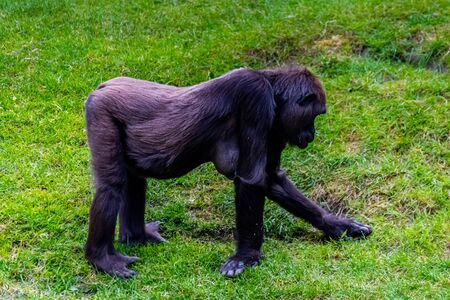 Lowland gorillas spend their day in the meadow Stock Photo