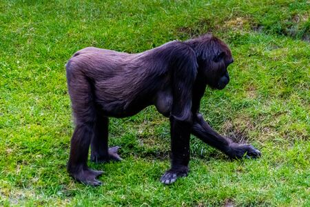 Lowland gorillas spend their day in the meadow