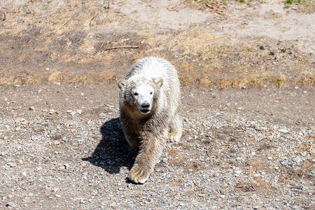 Polar bear Baby explores his territory