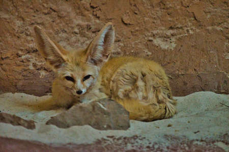 Desert fox rests at lunchtime