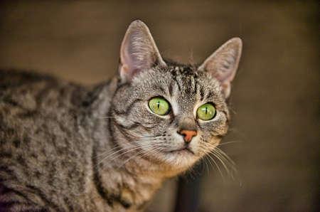 Portrait of a cat of the breed European Shorthair Фото со стока