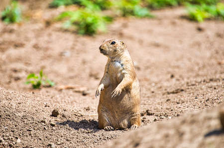 Prairie dog keeps watch in his territory Foto de archivo
