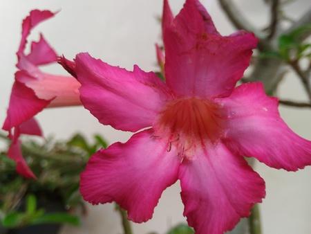 kamboja: Adenium (kamboja Jepang)