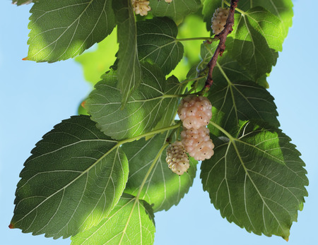 Witte moerbei, bekend als Morus alba. De tak met rijpe en onrijpe vruchten van de witte moerbei.