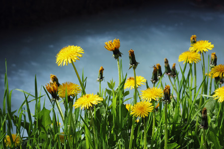 Flowering dandelions by the shore Stock Photo