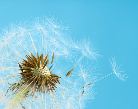 Close up of dandelion seeds blowing away Stock Photo