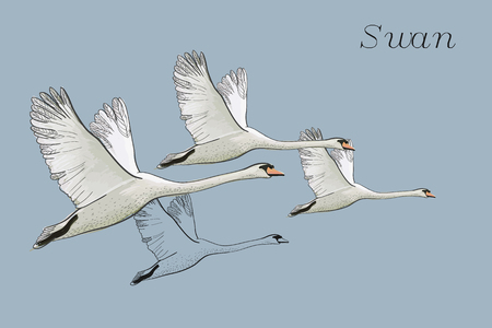 illustration of drawing Flying Swans. Hand drawn, doodle graphic design with birds. Isolated object on blue backdrop