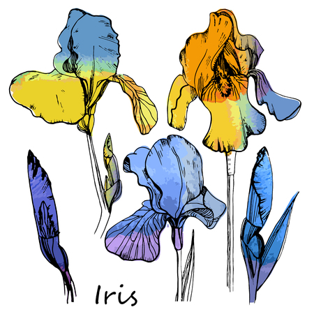Illustration of watercolor set of color irises. Isolated floral element. Hand drawn summer flowers.