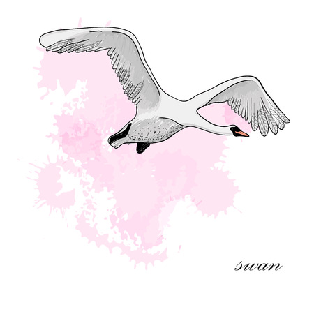 Vector illustration of drawing Flying Swan with watercolor spot effect. Hand drawn, doodle graphic design with bird. 일러스트