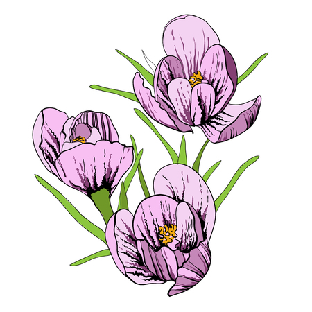 Vector illustration of First flowers with Crocus and snowdrop. Spring flower on white background. Hand drawn and sketch style.