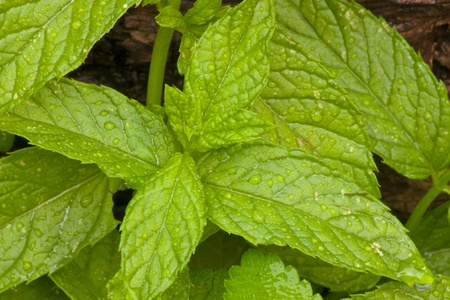 hojas: Melissa herb leafs full of water droplets Stock Photo
