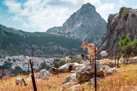 This photograph of some goats and the town of Grazalema in the background is taken from the road that leads to said town, in the Sierra de Grazalema natural park, Cadiz, Andalucia, Spain