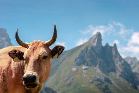 Close-up of a Cow in the mountains of Somiedo, Asturias, Spain.The photograph is a horizontal shot and has a blur of the mountains in the background.