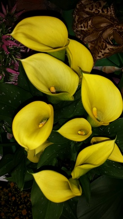 Bright yellow calla lily flowers