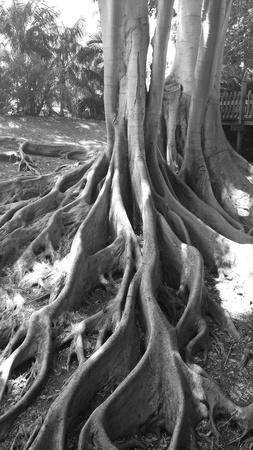 banyan: Banyan Tree in black and white Stock Photo